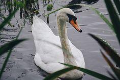 Hidden White Swan by YordanDim http://flic.kr/p/WA14ad