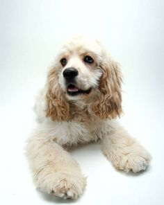 """""""Will you come play with me?""""...Click here to see this beauty>>> http://www.fundogpics.com/cute-cocker-spaniel-pictures.html"""
