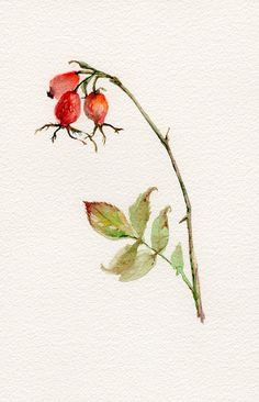 Rose hip watercolor original botanical by VerbruggeWatercolor