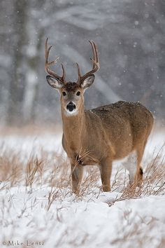 Snowy stare.   By Mike Lentz  Whitetail stag