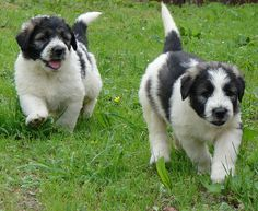 Goggie ob teh Week: Carpathian Mountains - Funny pictures and memes of dogs doing and implying things. If you thought you couldn't possible love dogs anymore, this might prove you wrong. Unique Dog Breeds, Rare Dog Breeds, Dog Photos, Dog Pictures, Every Dog Breed, Dog Calendar, Dog Books, Lovely Creatures, Shepherd Puppies
