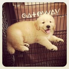 cute golden retriever puppy Tumblr