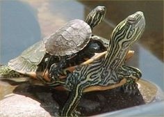 '' but one day, Dad came home with a good sized box turtle'' (Busby 13)