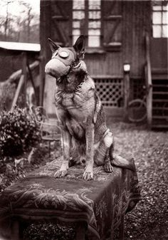 Dog with gas mask. 1917