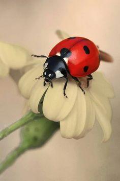 Ladybug On A Flower : ladybug, flower, Flowers, Ladybugs, Ideas, Ladybug,, Ladybird,