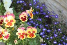 Perennial and Annual Lobelia Attract Butterflies and Hummingbirds Lobelia Flowers, Planting Flowers, Flower Gardening, Flowers That Attract Hummingbirds, Butterfly Flowers, Butterflies, Perennials, Attraction, Bloom