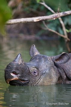 Javan rhino portrait