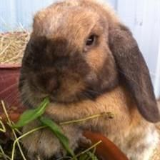 Ruby is looking for a home with the new man in her life Parsley 9142. who she has fallen in love with! Ruby is an inquisitive girl who can often be found hopping through her tunnels and loves to nibble on a pot of herbs.