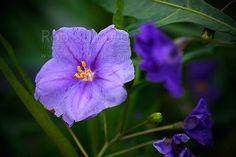 NZ Poroporo flower (Solanum laciniatum), NZ native plant flowering, New Zealand (NZ).