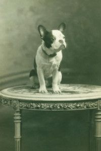 French Bulldog 1920's Antique Photo