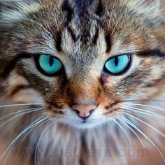 "❥ Beautiful kitty with turquoise eyes <3 ... I""m sure it's photoshopped, but pretty nonetheless."