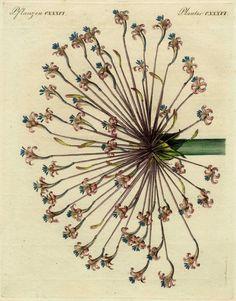 1790 Hand-Colored Engraving: Bertuch JOSEPHINE'S LILY (Brunsvigia josephinae). Exquisite Hand Color, Rare