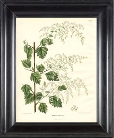 BOTANICAL PRINT Wendel  Art 24 Beautiful White Meadowsweet Mead Wort Meadow Lovely Antique Small White Flowers Wildflower Illustration