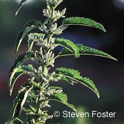 University of Maryland report on the uses of Stinging Nettle, contraindications, and description.