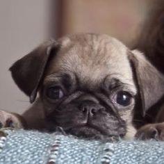 <3 I want a pug soooo baddddd!!! :D