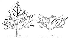 снижение кроны взрослого дерева черешни при помощи обрезки