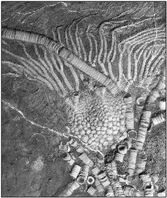 Crinoid fossils are sea lilies and feather stars that attached to the sea bottom, filtered food particles, and boomed in the Paleozoic period when plants dominated the earth. Most of the coal deposits found in the world today are found in association to Pyrite (decomposing plant and animal life + oxidation) due to high quartz and sulfur levels of 60% or more. Crinoids are found in Limestone.