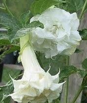 DATURA-Angel's Trumpet triple white flower