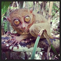 The Philippine Tarsier Sanctuary in Corella Want to see more? Be sure to visit The Philippine Tarsier Conservatory location page on Instagram! The Philippine Tarsier Sanctuary in Corella, Bohol, is owned by the non-profit Philippine Tarsier Foundation, whose mission is to save the tarsiers. The Sanctuary gives visitors the opportunity to see these tiny tarsiers up close, learn more about the species and take photographs of them as they live freely inside a protected forest. All fees…