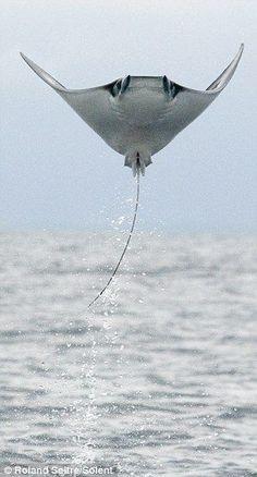 Flying Stingray