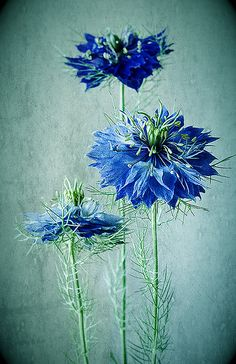 "Love in a Mist    Nigella, aka ""Love in a Mist""    One of the few true-blue flowers.    by Colleen Farrell"
