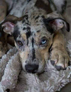 Shared by Christy Skyles Borgstedte - My newly adopted love, Meg!! Catahoula Leopard Dog, rescued from a Louisiana kill shelter.