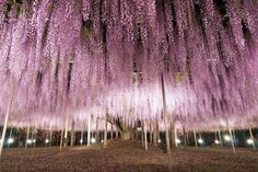 145 Year Old Wisteria in Japan I want to see this in real life...