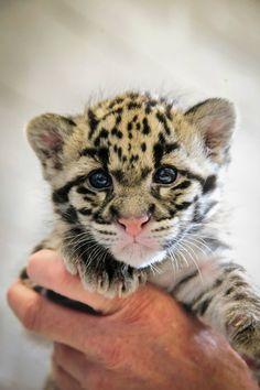 Little leopard.