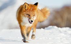 Fox Res: 1920x1200 / Size:233kb. Views: 72003