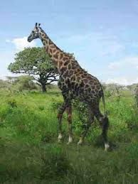 Afbeeldingsresultaat voor bewegende nijlpaard