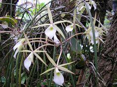 orquideas do mundo: Brassavola perrini A Brassavola perrini é uma espé...