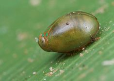 Leafhopper – family Cicadellidae