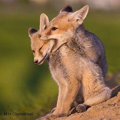 Iranian Red Fox, Shahr-e-kord, Chahar Mahal Bakhtiari province, Iran (Persian: روباه قرمز- شهرکرد - چهارمحال وبختیاری) Photo by: M. H.Chaleshtori