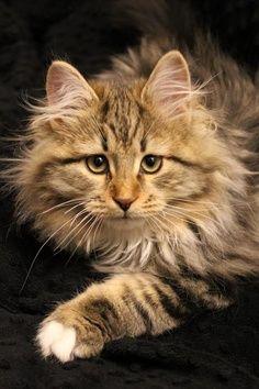 Belo Gato...
