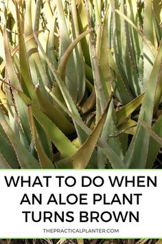 Why Is My Aloe Plant Turning Brown? (And What to Do When It Happens) - #Aloe #aloevera #Brown #Plant #Turning Container Gardening Vegetables, Succulents In Containers, Succulents Garden, Garden Plants, Planting Flowers, Container Flowers, Container Plants, Vegetable Gardening, Potted Plants