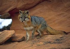 Common Name: COMMON GRAY FOX,  Scientific Name: UROCYON CINEREOARGENTEUS