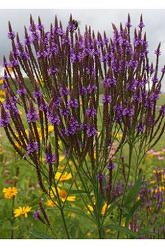 Verbena hastata - Blue Vervain seeds at Wildflower Farm