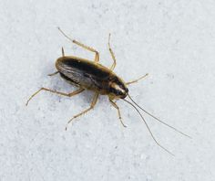How to Get Rid of Roachesgoodhousemag German Cockroach, Roach Killer, Mouse Traps, Roaches, Pest Control Services, Kitchen Floors, Science, Belle Photo