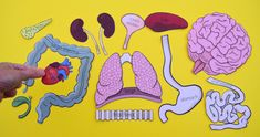 Free Printable Life-Size Organs for Studying Human Body Anatomy with Children - Free Printable Life-Size Organs for Studying Human Body Anatomy with Children Study anatomy and p - Human Body Crafts, Human Body Science, Human Body Activities, Science Activities For Kids, Kindergarten Activities, Steam Activities, Kindergarten Classroom, Science Projects, Human Body Organs