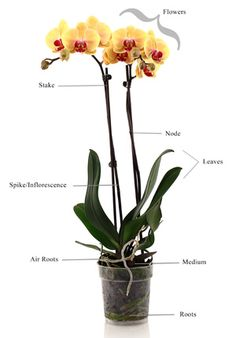Orchid Care FAQ