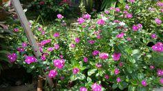 Pink fuchsia flower