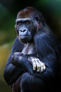 Ape at the washington, dc zoo.
