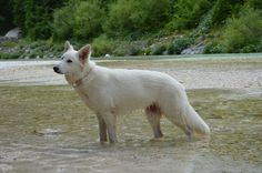 White Swiss Shepherd posing in the river