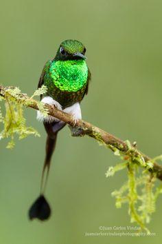 Photograph Booted Rackettail (Ecuador) by Juan Carlos Vindas on 500px