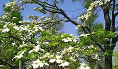 A #Dogwood tree is a perfect shade #tree for your backyard.