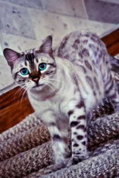 I've never seen a purple cat, have you?  Snow Bengal