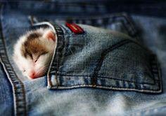 Kitten In A Pocket