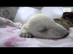 A sleepy polar bear cub and her stuffed moose pal are making observers at Columbus Zoo and Aquarium in Ohio say Awww.