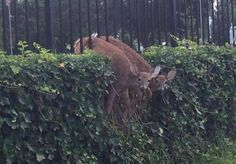 tamashiihiroka:  Two deer. Not just one. Two of them made this...