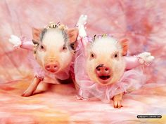 Google Image Result for http://animal.wallpapers.tc/wallpapers/Cute%2520Animal/Cute%2520Animals%2520Swine.jpg